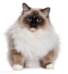 Święty Kot Birmański – nie jest spokrewniony z Burmskim mimo podobnej nazwy. To bardzo unikalna rasa...