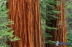 ecorce de sequoia - Ecosia