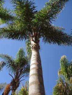 sancarlosfortin: palmas en el jardin de marilu