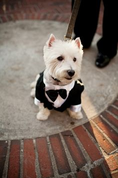 Westie in bowtie :))) photo by Brookelyn