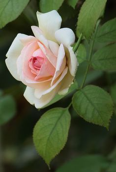 Such a beautiful capture of the luscious foliage around this pale matte and so beautul and pale pink rose. Beautiful Flowers Pictures, Beautiful Rose Flowers, Flowers Nature, Flower Pictures, Amazing Flowers, Pink Roses, Pink Flowers, Pale Pink, Rose Reference