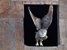 50 Photos of the Day by National Geographic vol. 7 - Horned Owl, Saskatchewan by Robert Postma Owl Photos, Owl Pictures, Nature Photos, Especie Animal, Mundo Animal, Nocturne, Flying Owl, Grand Duc, Great Horned Owl