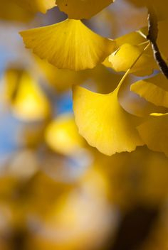 Plant Wallpaper, Flower Wallpaper, Life Is Beautiful, Beautiful Gardens, Political Pictures, Ginkgo, Fall Background, Japanese Landscape, Beautiful Flowers Wallpapers