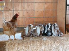 Nubian goat kids. with a chicken. One time I put a 7 month old goat in a chicken pen the chickens loved her and she loved the chickens