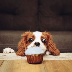 Cavalier Indy: must have. cupcake. happy 3 months to me! ♥