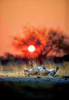 Leopard at sunset- Heinrich van den Berg shares his latest images and looks to the silent future of wildlife photography.