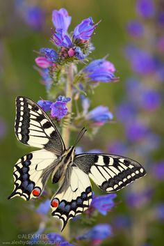 Common Swallowtail butterfly {Papilio machaon} feeding on Viper's Bugloss / Blueweed {Echium vulgare} in alpine meadow. Nordtirol, Tirol, Austrian Alps, Austria, 1700 metres altitude, July.