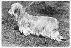Drop-Eared Skye Terrier