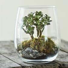 """Résultat de recherche d'images pour """"crassula ovata bonsai"""" Terrarium For Sale, Glass Terrarium, Crassula Ovata, Succulent Bonsai, Succulents, Legume Bio, Plants, Home Decor, Gardening"""