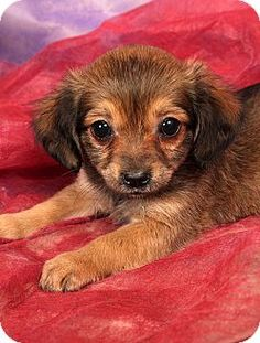 Pictures of Mandi MinPin Chi a Miniature Pinscher/Chihuahua Mix for adoption in St. Louis, MO who needs a loving home.