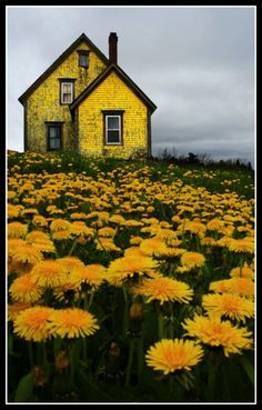 Yellow Cottage with Dandelion Lawn | Content in a Cottage