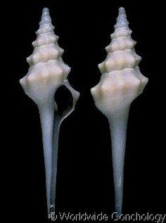 Fulgurofusus (Peristarium) electra  (Bayer, F.M., 1971)   Shell size to 30 mm   Florida Keys, USA