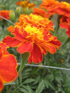 Marigolds... One of my favorite flowers. They're not fragrant but they are astounding in their colors & longevity