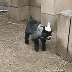 baby goat falling down