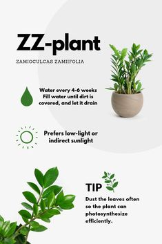 A self-made car guide for my plants: zamioculcas zamiifolia Inside Plants, Room With Plants, House Plants Decor, Garden Plants, Indoor Plants, All About Plants, Zz Plant, Car Guide, Decoration Plante