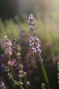 """As Rosemary is to the spirit, so Lavender is to the soul."""