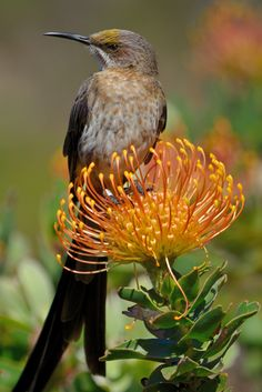 https://flic.kr/p/BbVj14 | Cape Sugarbird on a Leucospermum cordifolium (Pincushion) | Photographed at Fernkloof Nature Reserve, Hermanus, South Africa