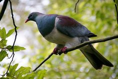 New Zealand Pigeon | by Kenny Muir