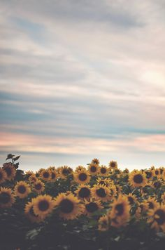 Setting sun & Sunflowers
