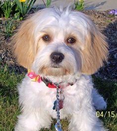 Cavachon http://puppies.host/Puppies/