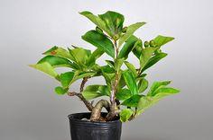 小品盆栽・カマツカ-O1(かまつか・鎌柄・ニホンカマツカ・日本鎌柄)実もの盆栽の販売と育て方・作り方・Pourthiaea villosa bonsai