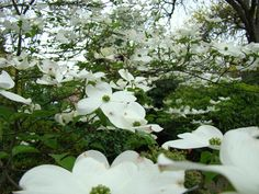 White Dogwood Flowers 6 Dogwood Tree Flowers Art Prints Baslee Troutman by Baslee Troutman Dogwood Trees, Dogwood Flowers, White Flowers, Top Flowers, Big Plants, Exotic Plants, Flower Pot Design, Flower Art, Growing Flowers