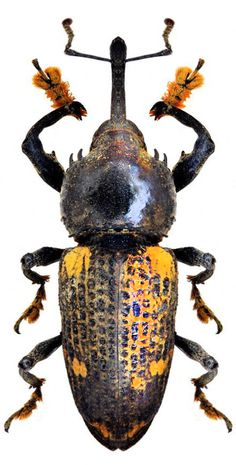 Odontoderes sexmaculatus