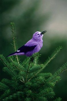 Charming little violet and purple bird singing a sweet song in a Christmas tree. Kinds Of Birds, All Birds, Little Birds, Love Birds, Pretty Birds, Beautiful Birds, Animals Beautiful, Cute Animals, Animals Amazing