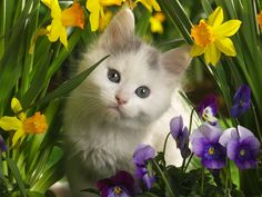 Daffodils, Pansies and Kitten Wallpaper from Cats. This is a beautiful bright pictures, the vivid yellow of the daffodils and the vivid purple of the pansies is really lovely. The gray and white kitten looks sweet and innocent hiding within the flowers. Cute Cats And Kittens, I Love Cats, Crazy Cats, Kittens Cutest, Funny Kittens, Baby Kittens, Pretty Cats, Beautiful Cats, Animals Beautiful