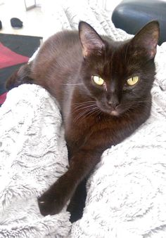 "From Sharon: ""Cuddle time with my sweet girl Sophie, rescued almost three years ago!"" In October, we are celebrating black cats for Halloween. www.catfaeries.com - Products for good behavior & health for the modern housecat."
