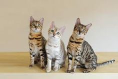 Bengal cats, thats what my Poptart is :D