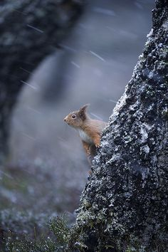red squirell is watching the world goes by