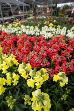 Tall Flowers, Bright Flowers, Cut Flowers, Antirrhinum, Fall Planting, Citrus Heights, Pet Safe, Spring And Fall, Flower Beds
