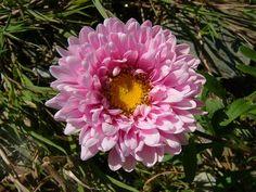 looooooove this callistephus! another September flower