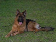 Long Haired German Shepherd <3