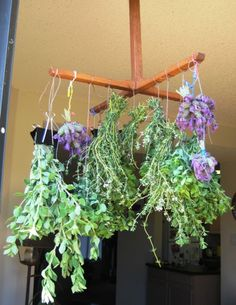 Drying lavender, oregano, thyme and marjoram :)