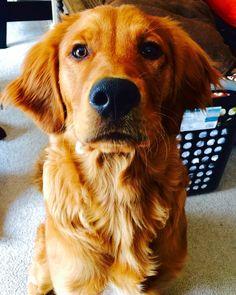 Our handsome six month old golden retriever fergus! #fergusfotos #goldenretriever #puppy