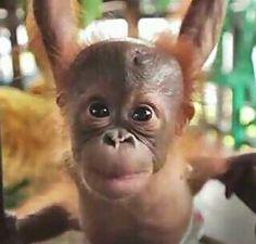 Baby Orangutan!
