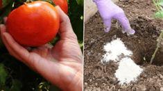 Tie najlepšie tipy pre pestovateľov paradajok: Takto to robia skúsení záhradkári! Orange, Fruit, Compost