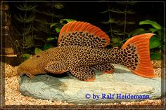 Pseudacanthicus sp. L025 - Scarlet Pleco