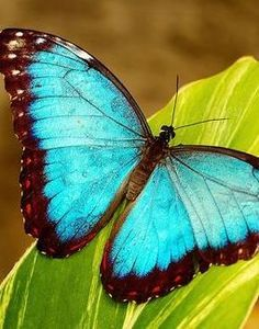 My all time favorite butterfly, they're beautiful.