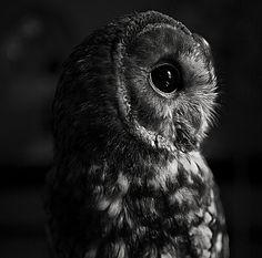 Lovely owl capture. Source: Flickr / brettwalker