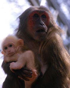 MACACO - Macaco rabón- Macaca_arctoides_mère_et_bébé