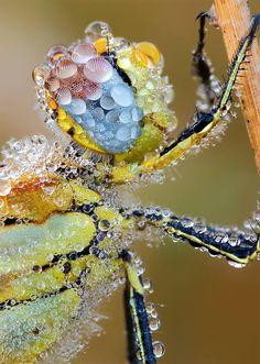Odonata species in dew.