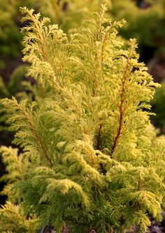 CHAMAECYPARIS PISIFERA 'HARVARD GOLD' Size: 2' tall x 2' wide in 10 years Intense golden color on this new, dwarf evergreen from the noted plantsman, John Mitsch, Oregon. Fern-like foliage will add a bright, lacy touch to small gardens and patio containers.