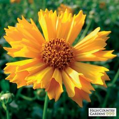 Jethro Tull is a very distinctive looking Coreopsis with large golden-yellow daisies with fluted petals. A long bloomer when deadheaded, this is a compact growing variety.