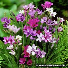 Baboon Flower Bulb Mix, Babiana stricta, Baboon Flower