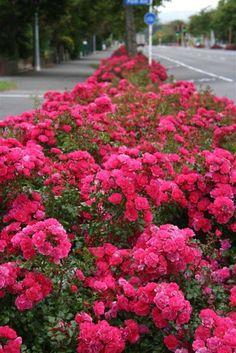 Flower carpet pink groundcover rose with lavender along walkway the landscape roses lawncarpetpinkgrassrugrugs mightylinksfo