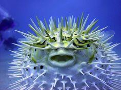 pesce palla sorridente