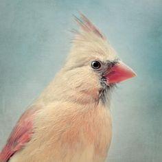 Female Cardinal Bird Portrait - fine art photography print by Allison Trentelman | rockytopstudio.com